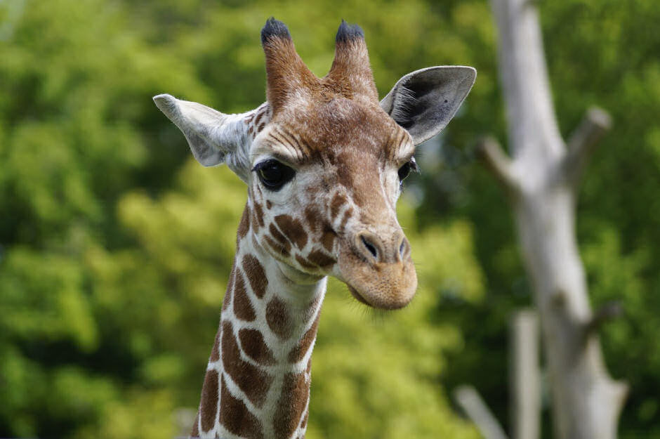 ZSL Whipsnade Adult Tickets
